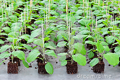 Growth of gardening plants inside a greenhouse