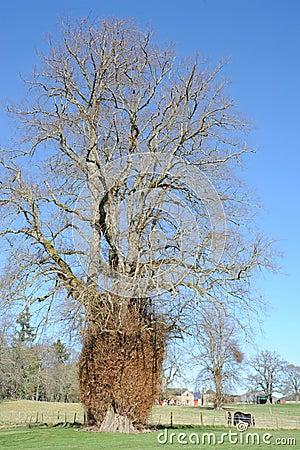 Growth on old tree