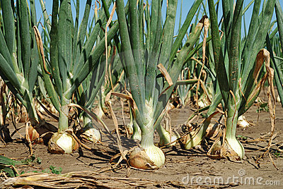 Growth  onion