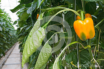 Growth of yellow bell peppers inside a greenhouse