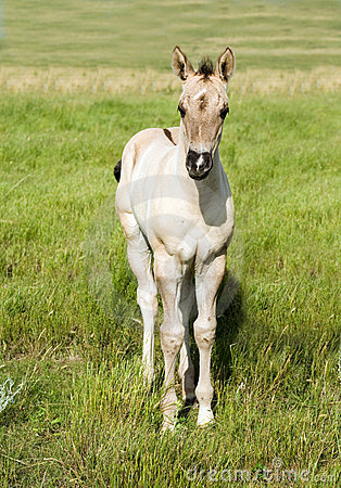 Free Grulla Quarter Horse Foal Royalty Free Stock Photography - 4333407