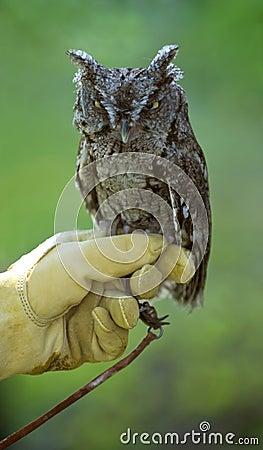 Grumpy Eastern Screech Owl (Otus asio)