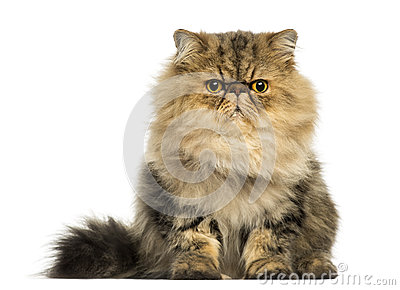 Grumpy Persian Cat Fac...