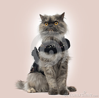 Grumpy Persian cat wearing a shiny harness, sitting