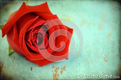 Grunge aged textured rose