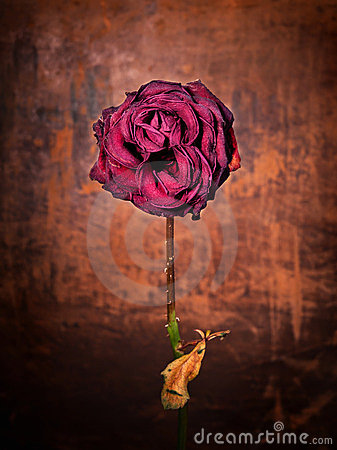 Free Grunge Rose Royalty Free Stock Photo - 23700535
