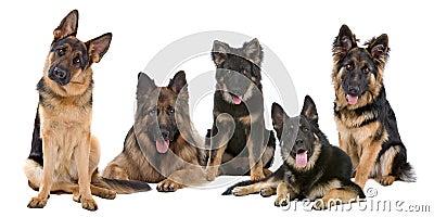 Grupo de cães de pastor alemão