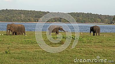 Grupo de elefantes em Sri Lanka