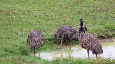 Grupo de pájaros del emú