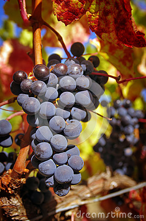 Grupo de uvas