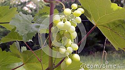 Grupo de uvas em um arbusto filme