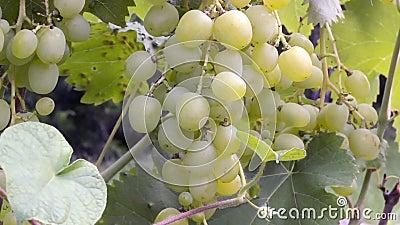 Grupo de uvas em um arbusto vídeos de arquivo