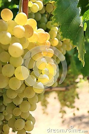 Grupo de uvas no vinhedo