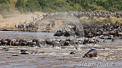 Grupo grande de wildebeest que cruza o rio Mara