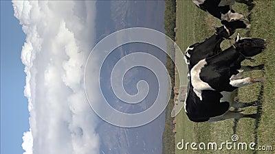 Grupo vertical de vacas negras e brancas que pastam no campo agrícola, comem erva verde sobre fundo de vulcões e azul filme