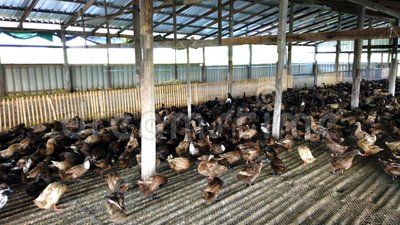 Grupp av änder i lantgården, traditionellt lantbruk i Thailand, djur lantgård, 4K stock video