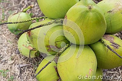 Grupp av kokosnötter