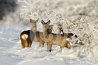 Gruppe von Rogen deers