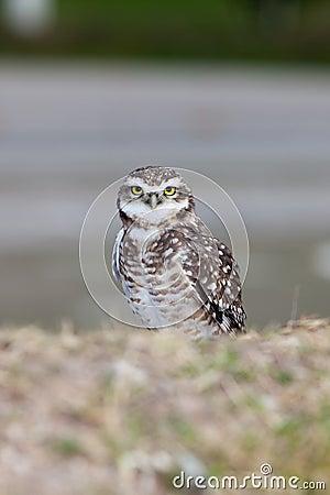 Gräva owl