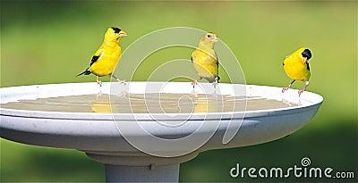 Água bebendo da família do Goldfinch em um banho do pássaro