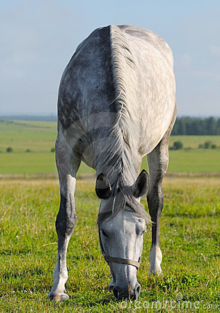égua Dapple-cinzenta