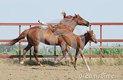 Égua e potro da castanha