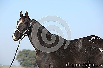 Égua preta do appaloosa com cabeçada ocidental