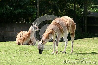 Guanaco Llama (Lama Guanicoe)