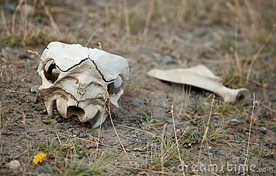 Guanaco skull in Torres del Paine, Chile