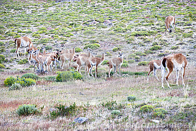 Guanacos with kids - Guanacoes