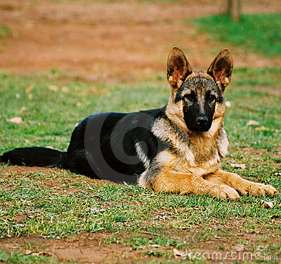 Free Guard Dog Royalty Free Stock Photos - 1055048