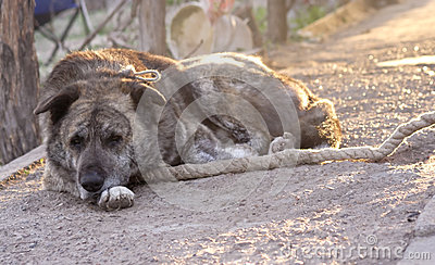 Guard dog on leash