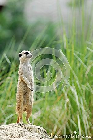 Guard of meerkat Stock Photo