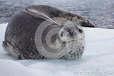 Guarnizione del leopardo che riposa sulla banchisa galleggiante di ghiaccio, Antartide