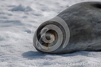 Guarnizione del Weddell