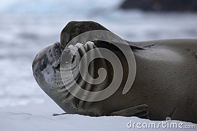 Guarnizione di Crabeater che laugning alto fuori, l Antartide