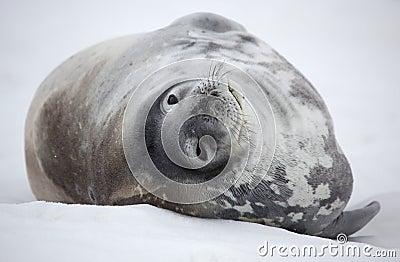Guarnizione di Weddell dell Antartide