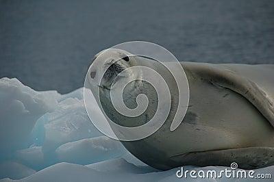 Guarnizione di Weddell su ghiaccio