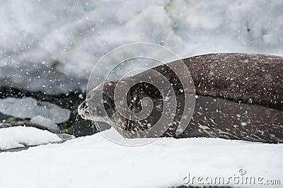 Guarnizione di Weddell sulla spiaggia