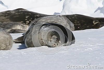 Guarnizioni che dormono sul ghiaccio