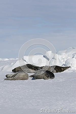 Guarnizioni di Weddell (weddellii di Leptonychotes)