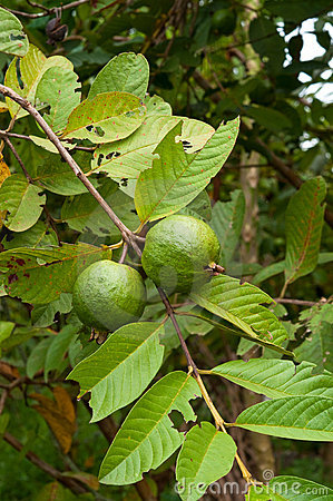 Guava tropical fruit on the tree