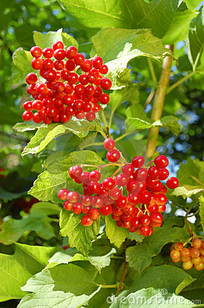 Guelder-rose berries on the tree