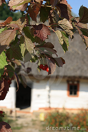 Guelder-rose branch with berries