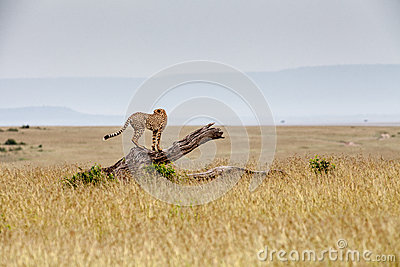Guepardo en un árbol caido