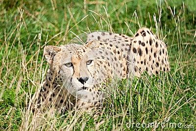 Guepardo que se agacha entre hierba larga