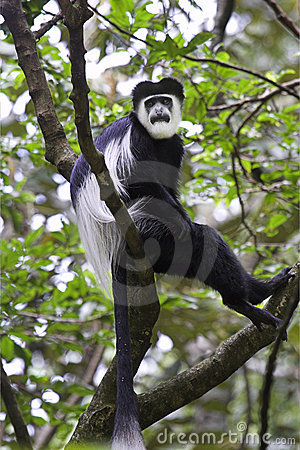 Guereza black-and-white colobus monkey.