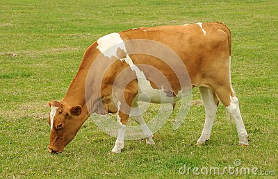 Guernsey beef cow