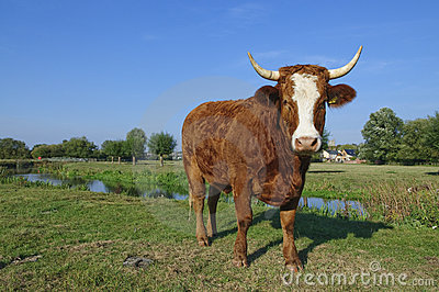Guernsey cow in Suffolk