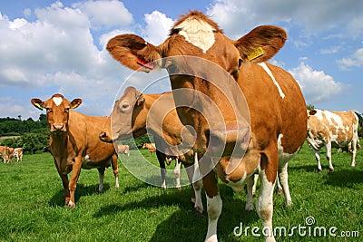 Guernsey Cows